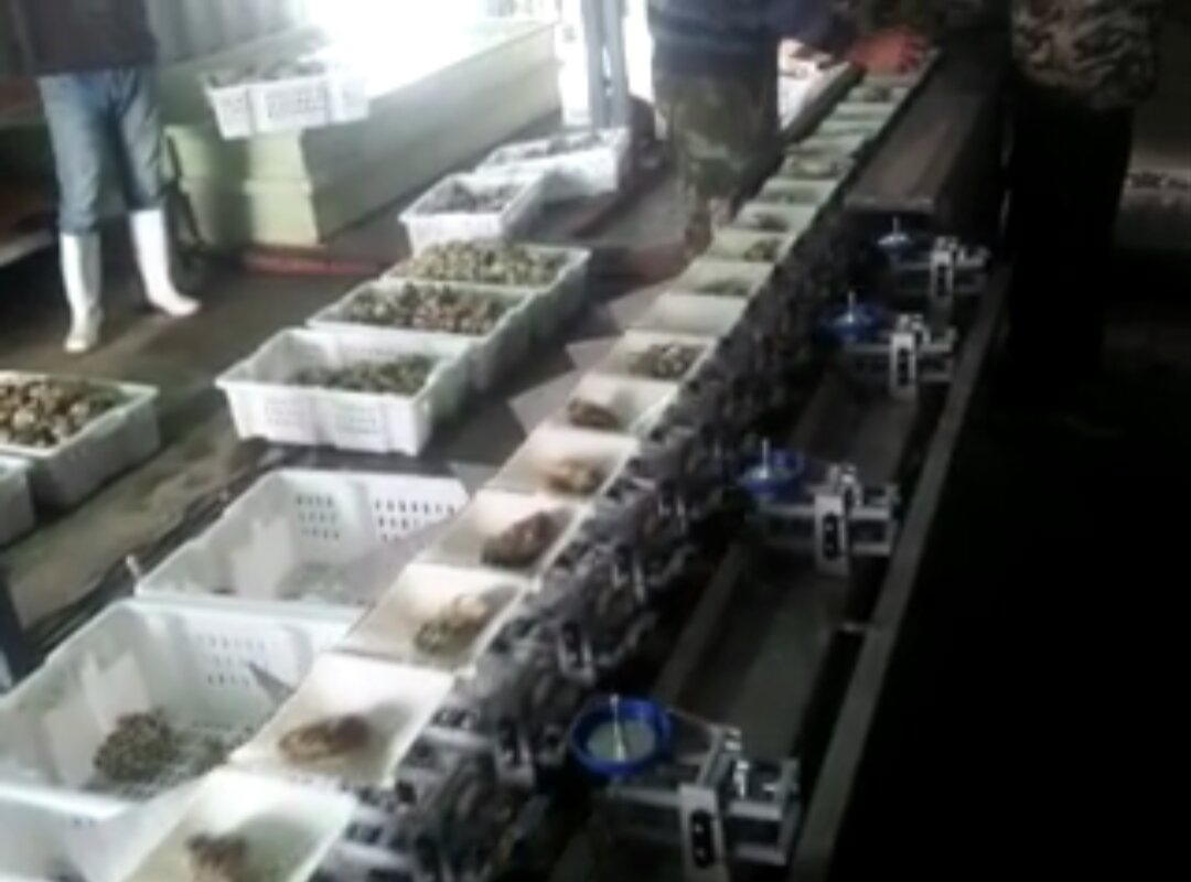 牡蛎分选机,海参分级机,鲍鱼海产品分选机