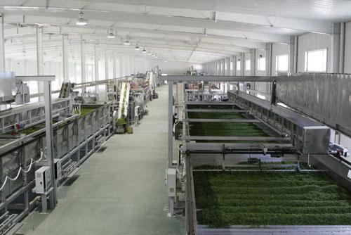 歙县茶叶机械加工生产模式逐渐扩大 实现高品质高产量